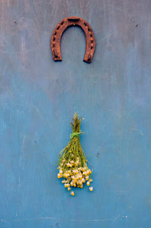 flower bunch: luck symbol rusty horseshoe and chamomile medical  flower bunch on blue wooden wall Stock Photo
