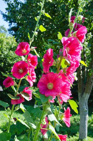 alcea: hermosa rosa malva Alcea rosea en el jard�n de verano
