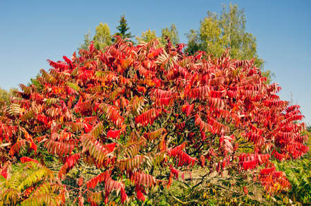 staghorn: beautiful autumn Stahhorn Sumac (Rhus typhina) leaves in park
