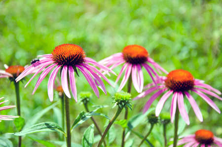 perennial: Purple beautiful medical perennial cone flowers Echinacea Purpurea in garden