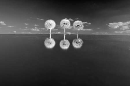 b w: three dandelion heads with seeds on mirror in space. B & W picture Stock Photo