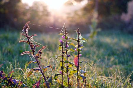 summer bellflower with dewy spider-web in morning sunrise light photo
