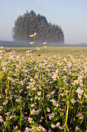 summer farmland landscape with buckwheat blossoms and morning fog
