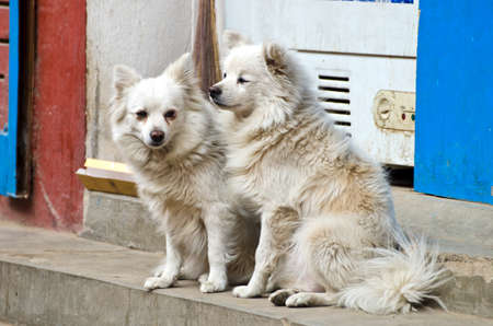 seeting: two hairy white dogs pets  on asia city street