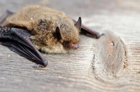 echolocation: animal  bat Nathusius pipistrelle (Pipistrellus nathusii) on wooden background