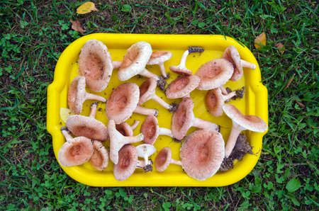 torminosus: plastic tray full of mushrooms ( Lactarius torminosus) on grass