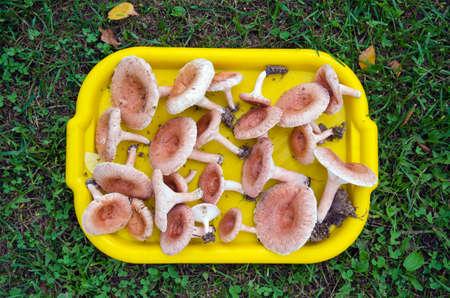 torminosus: plastic tray full of mushrooms ( Lactarius torminosus) on grass