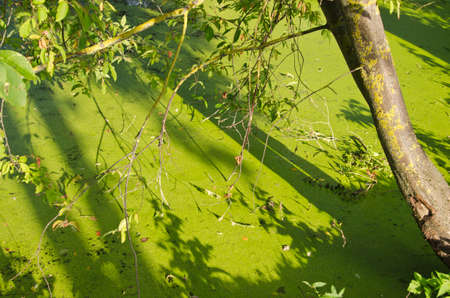 green summer lake pond water with duckweeds. nature background photo