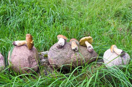 cep: raw food mushrooms cep boletus on stone