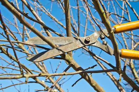tree trimming: cut trim prune fruit tree branch with wintage clippers scissor in spring garden Stock Photo