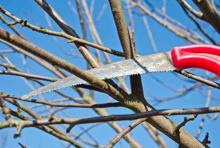 ciruela pasa: cortar ciruela rama de un �rbol de manzanas en el jard�n de primavera con la herramienta serrucho Foto de archivo