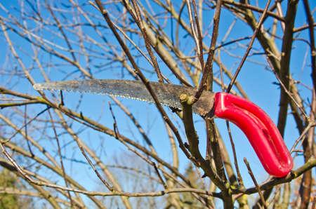 serrucho: jardinero serrucho herramienta en la rama de manzano en primavera