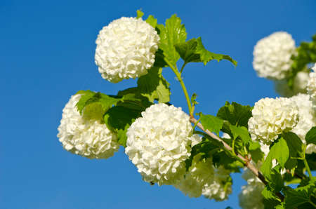 guelder: beautiful viburnum Guelder Rose Snowball tree (Viburnum opulus) blossoms on sky background
