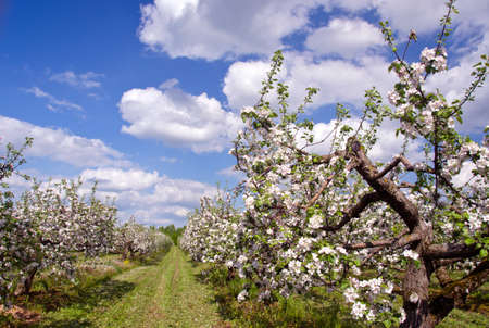 glowering: beautiful blossoming spring apple tree big industrial orchard garden Stock Photo