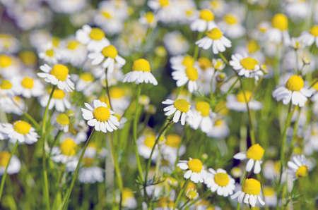 medicine background: blur fresh chamomile medical flowers blossoming background.Herbal medicine background
