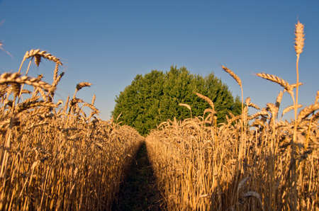 ripening: Landscape of ripening wheat in summer end day