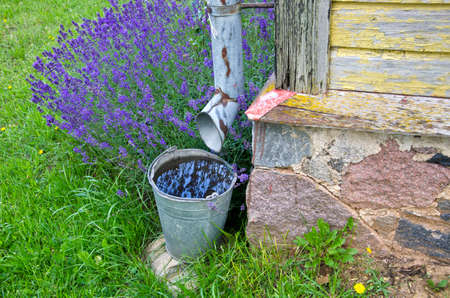 Rainwater collected in a bucket by the building with lavender flowers growing
