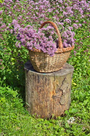 origanum: Origanum picked in wicker basket in farm garden Stock Photo
