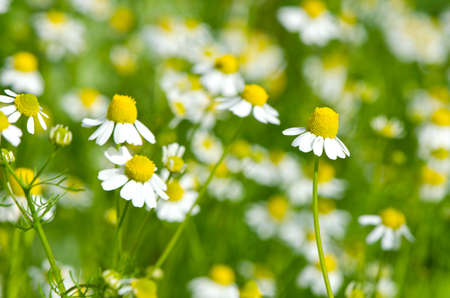 Closeup of chamomile medical flowers herbs growing in garden