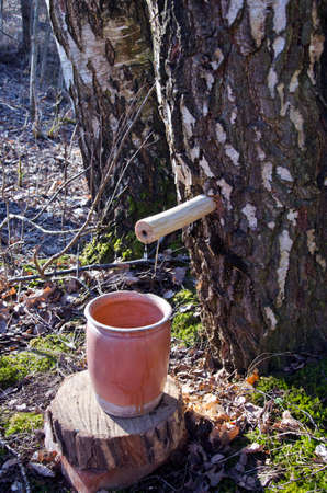sap: Collecting birch tree sap in springtime  forest Stock Photo