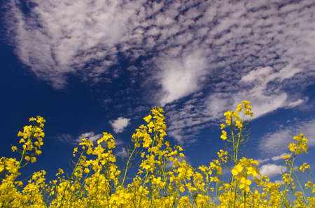 rapaseed: Yellow sunlit rapa flowering against the cloudy blue sky Stock Photo