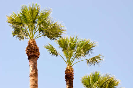 three palm trees: Three palm trees on sunny day