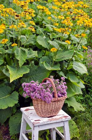 wild marjoram: Freshly picked oreganum in the garden besides flowering horse heal