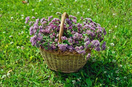 wild marjoram: Oreganum wild marjoram herbs in wicker basket placed in meadow on sunny day