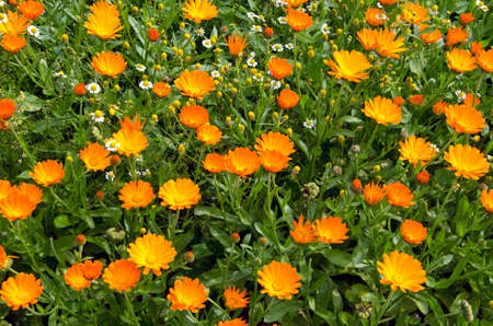 herb garden: Flowering orange calendula marigold in the herb garden with chamomile Stock Photo
