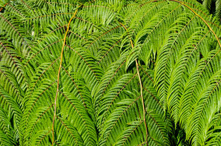 downunder: Background of sunlit young green tree fern leaves