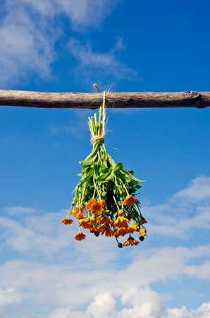 hanged: Bunch of flowering calendula hanged on a wooden stick to dry outdoors against blue sky on sunny day Stock Photo
