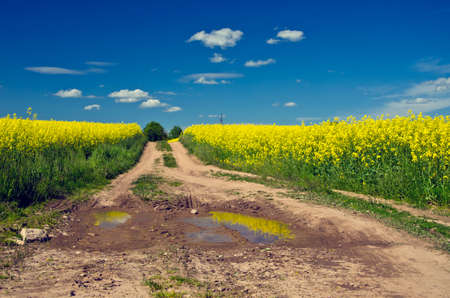 rapeseed: Way with puddles through flowering green and yellow rapeseed field on sunny spring day