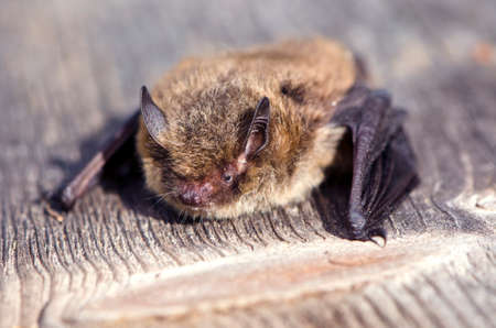 Close up of Nathusius' pipistrelle bat on sunny day on wooden plank