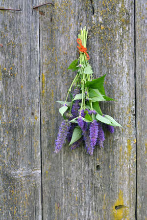 hyssop: Bunch of violet flowering anise hyssop (Agastache foeniculum) on old barn wooden wall