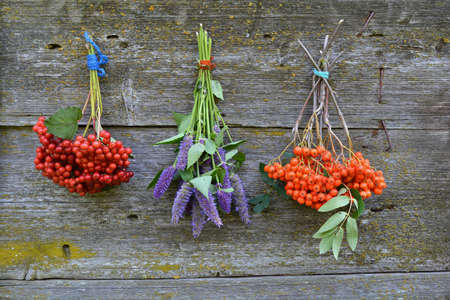 hyssop: bunch rowan and viburnum berry and anise hyssop on wooden wall Stock Photo