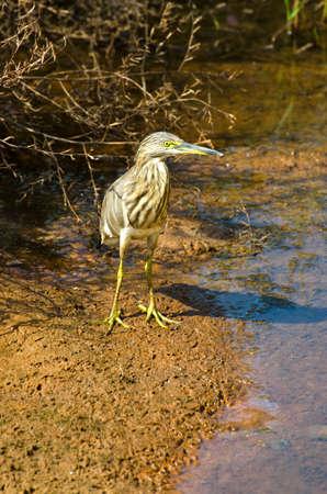 Indian Pond Heron (Ardeola grayii). Goa, India