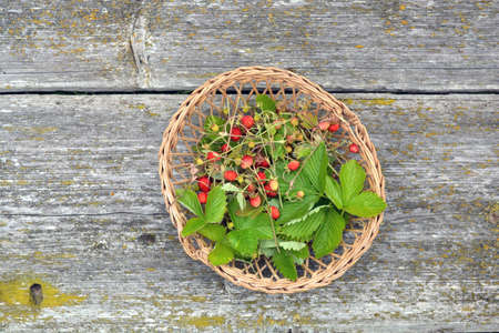 Wild strawberry for tea in small wicker basket on old table background Stock Photo