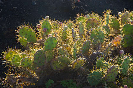 Cactus bushes in Tenerife on volcanic stone field