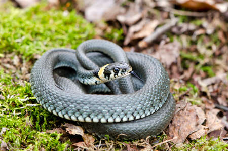Ringed grass snake Natrix in spring forest on moss