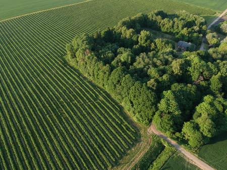 level lines rows of bush currant, fruit plantation, aerial