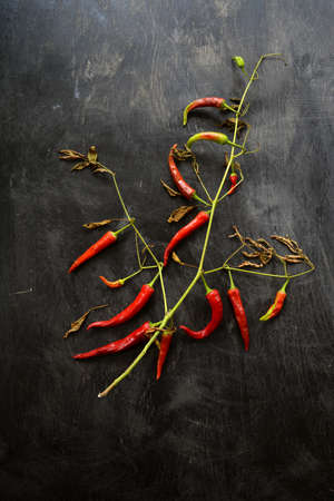 Red hot chili pepper bush on old wooden black background
