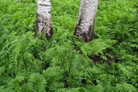 Beautiful green fern plantation in birch forest
