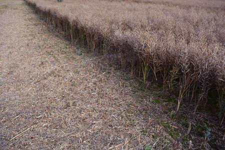 Half harvested ripe rapeseed field in summer end