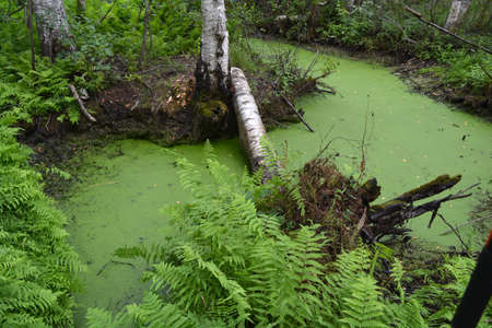 Swampy birch forest and green pond water with duckweeds