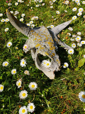 Cow scull on green meadow with flowers Stockfoto