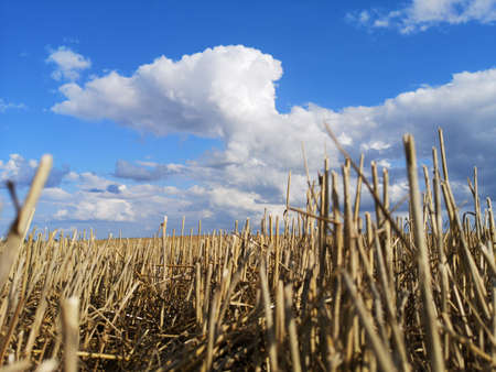 Wheat field after harvesting with stubble and summer clouds Stockfoto