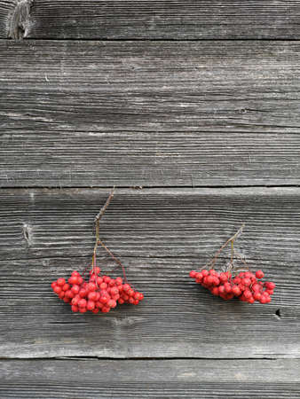 Two bunches rowan berries on old wooden wall background. Autumn background with red berries Stok Fotoğraf