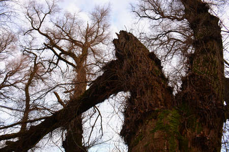 old big leafless willow trees in autumn Stok Fotoğraf