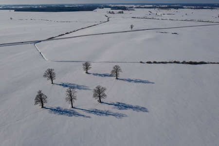 Winter oaks group on snowy field with shadows, aerial view