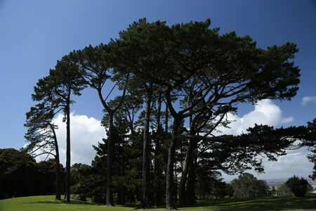Large trees in Cornwall park in Auckland, New Zeland.